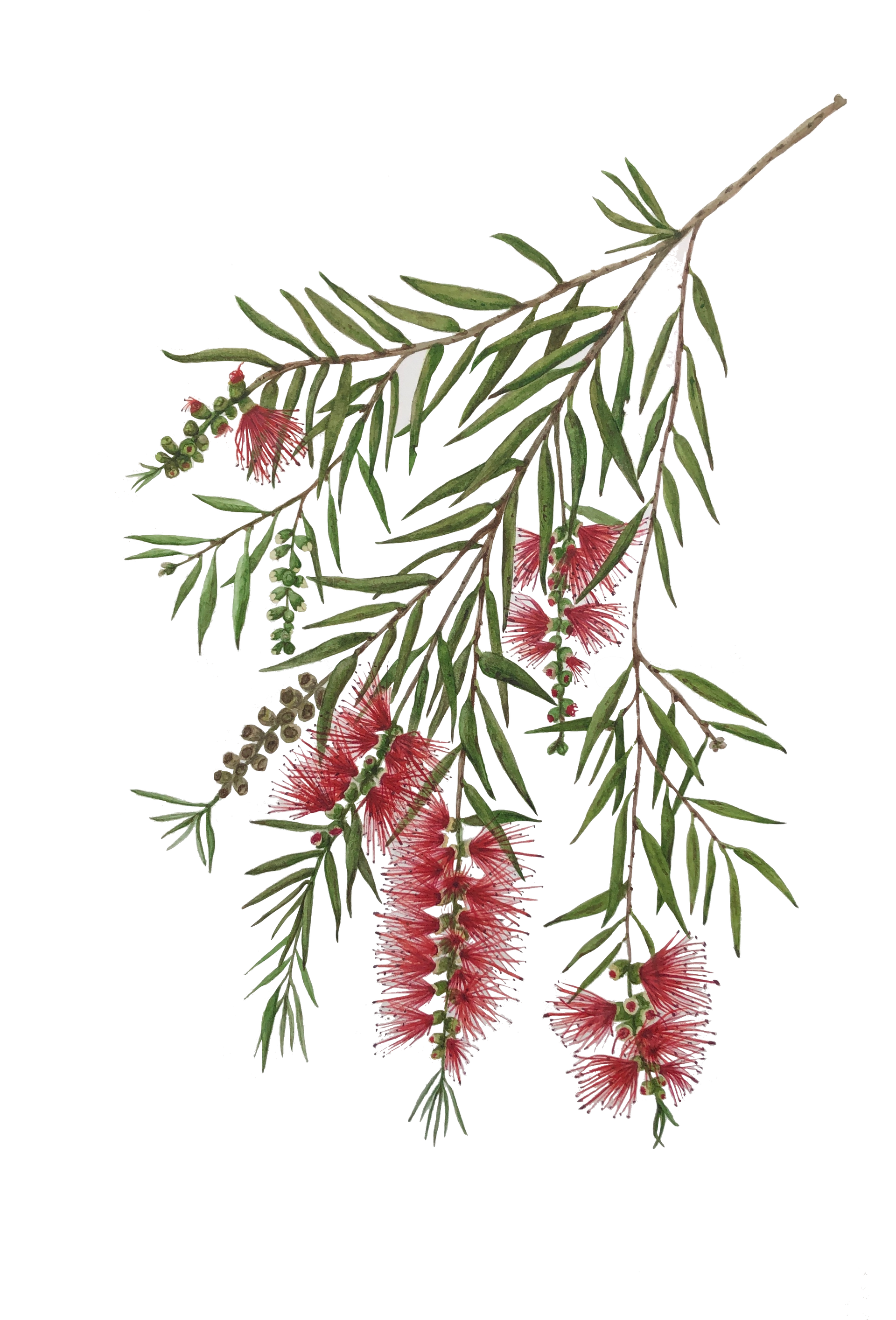 Callistemon viminalis (aka Melaleuca viminalis), the weeping bottlebrush.