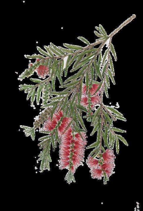 Callistemon viminalis (aka Melaleuca viminalis), the weeping bottlebrush.