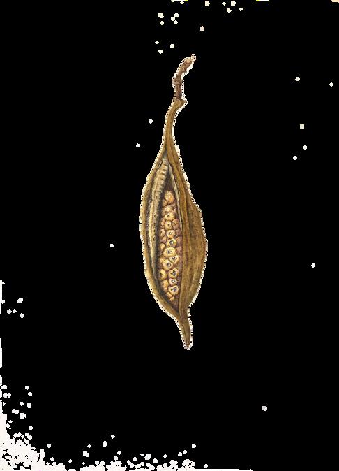 Brachychiton bidwillii seed pod #2