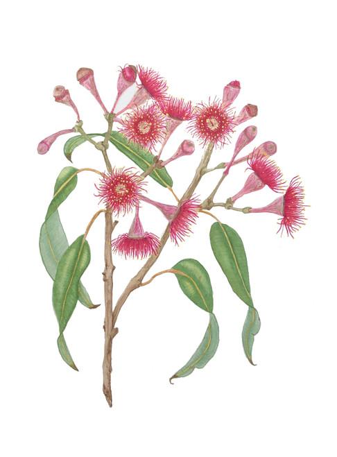 Corymbia ficifolia #2