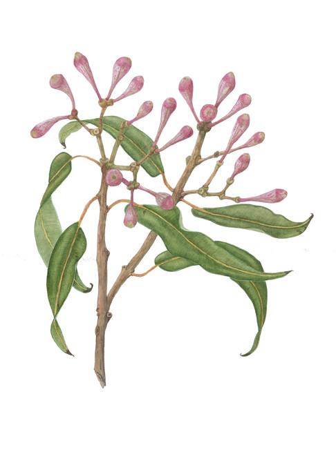 Corymbia ficifolia #1