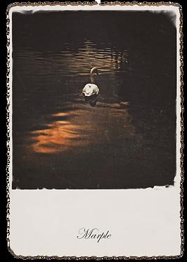Marple Walks Collection - Swan on the Roman Lakes