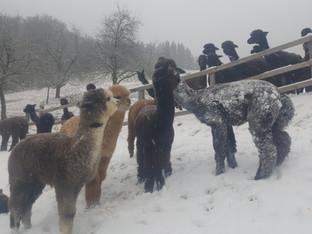 Alpakakinder lieben Schnee!
