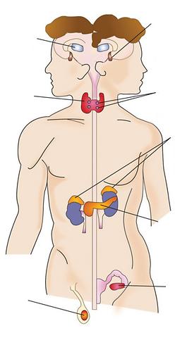 endocrine system.png