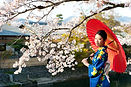 Cherry blossoms in Japan with traditional dress lady.