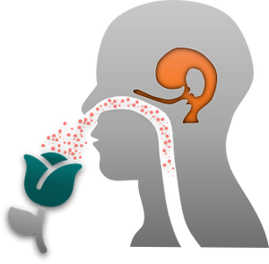 Olfactory System.png