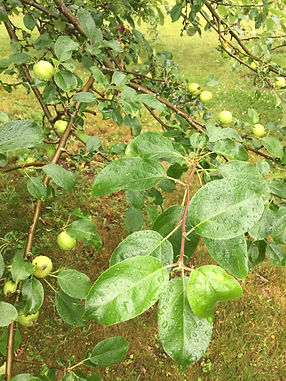 Apple tree, Kentville Cider