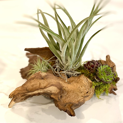 Mahopi driftwood with airplants and succulent design