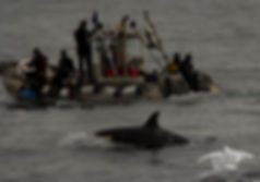 diving with orcas, dolphins, whales and seals. Undersea Soft Encounter Alliance