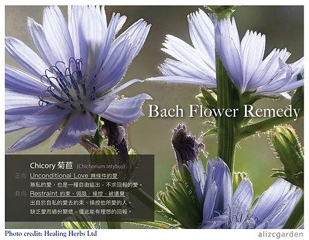 Chicory_FB_post.jpg