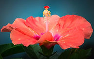 Hibiscus-Varieties-FB_edited.jpg