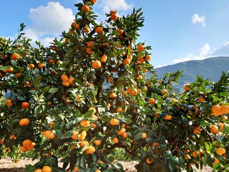 柑橘類に含まれるヘスペリジンが血管を強くする!