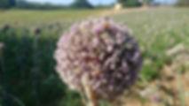 ape su fiore di cipolla