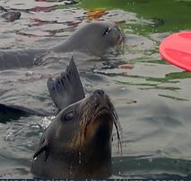 Cape Fur seals Namibia