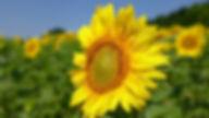 fiore girasole nelle colline marchigiane