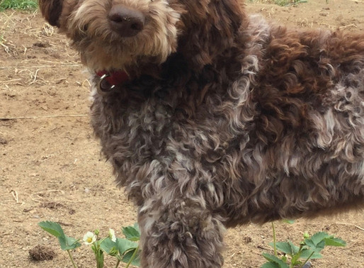 History of the Lagotto