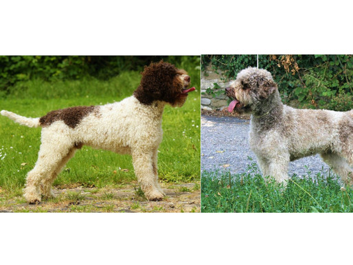 Planned Lagotto litter for May 2019