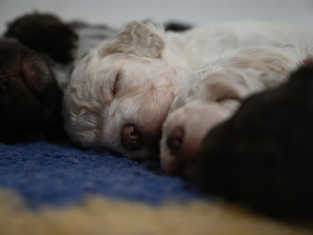 Lagotto Puppies by Cannella!