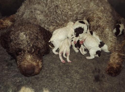 Lagotto Romagnolo Puppies:  Nature vs. Nurture.