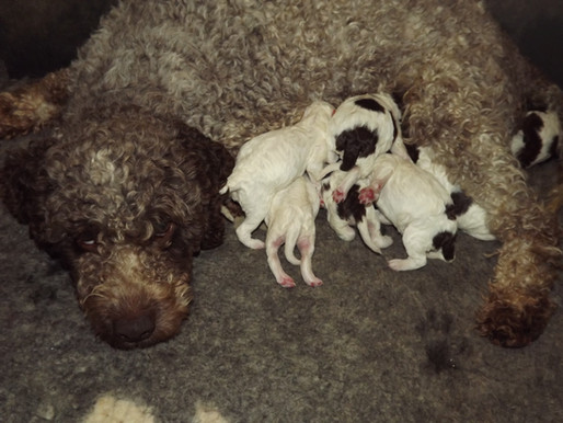 Lagotto Romagnolo Puppies:  Nature vs. Nurture.