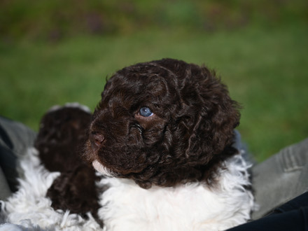 Beauty is in the eye of the Lagotto!