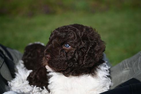Female Lagotto puppy eyes.JPEG