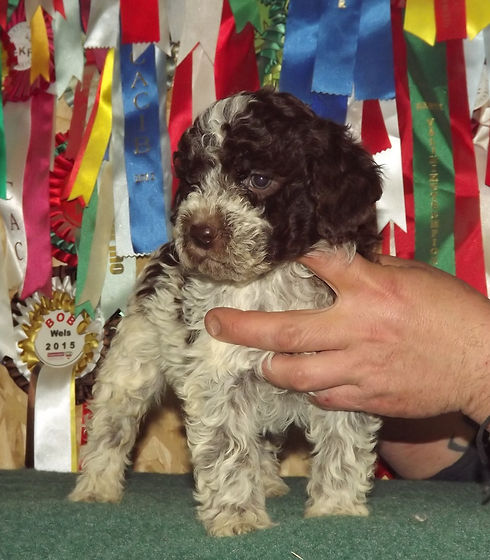 Puppy with Awards - Lagotto