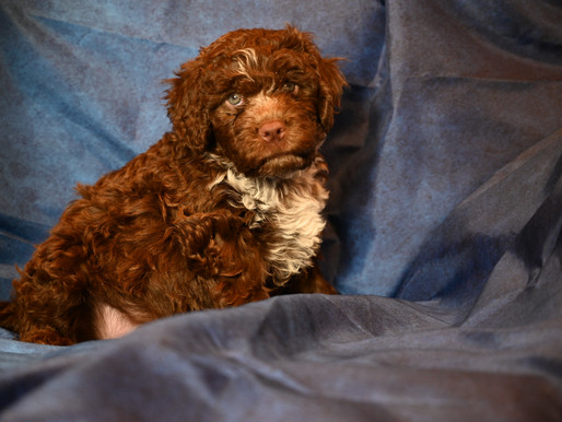 6 1/2 week old Lagotto Puppies!
