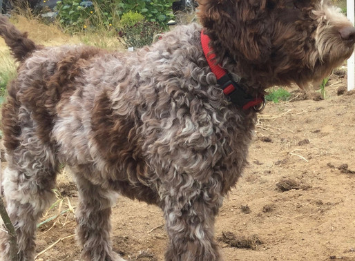 Lagotto's are great truffle hunters