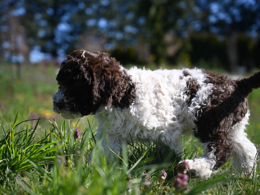 Lagotto puppies in the Sun!