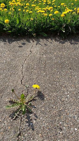dandelions - Copy.jpg