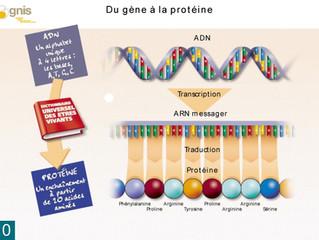 Un gène Une protéine