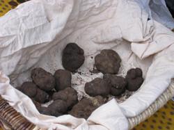 Récolte de quelques truffes