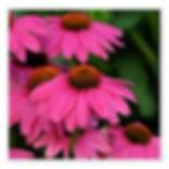 Echinacea Pow Wow Cherry.jpg