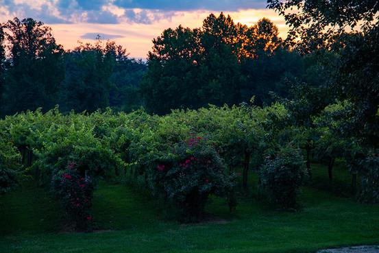 The Vineyard at Sunset