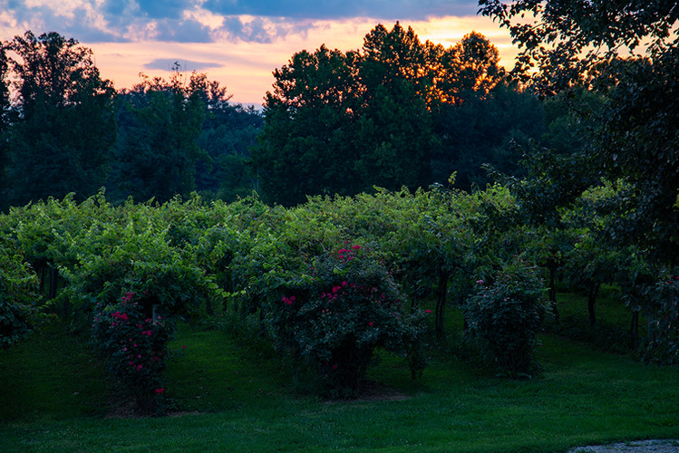 The Vineyard at Sunset