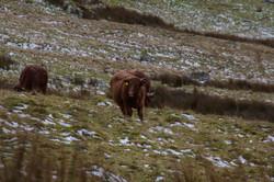 Snowdonian cows