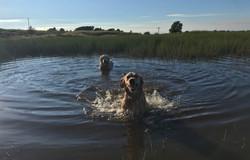 Doggies swimming