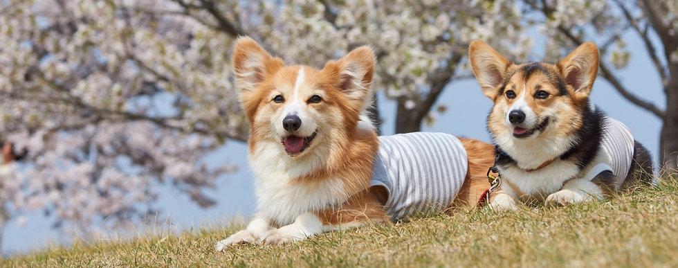 春の散歩(犬)