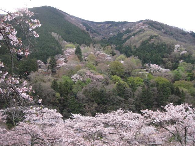 華やかな霊峰比叡山ー全山桜色