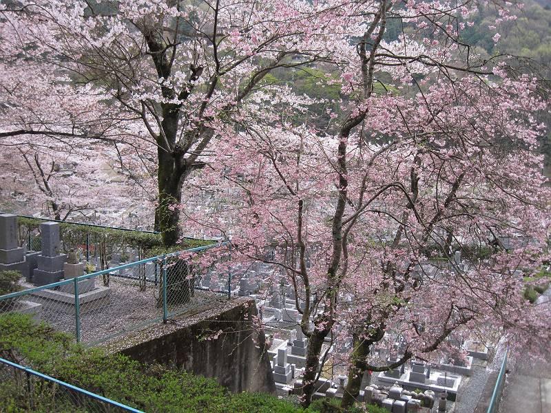 咲き誇る枝垂桜