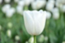 Magyar virág
