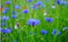 Deutsche Blume