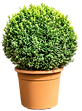 boxwood.png