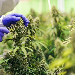 KiwiSaver provider pins hope on higher growth from medicinal cannabis company