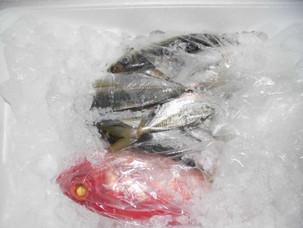 新鮮鮮魚、千葉県産。