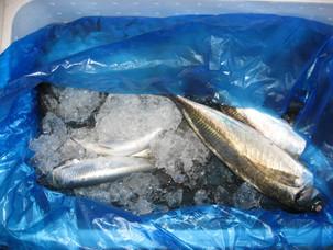 木曜日の鮮魚メニューです。