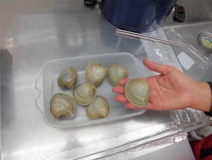 千葉県売出し中、ホンビノス貝。