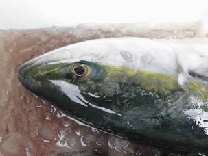 ワラサ/ヒラメ、天然一本釣りです。