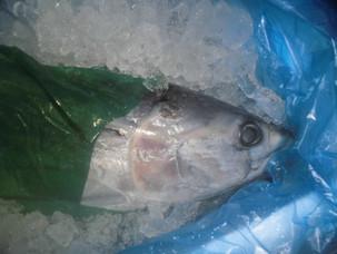 入ったぞ~!!!!千葉県/銚子の新鮮鮮魚、カツオ。